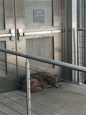 A coyote rests outside a door on the fourth floor mezzanine of the New York State Museum in Albany on Monday, March 27, 2018. Authorities say the animal was discovered in front of doors at a walkway leading to the museum's mezzanine, located at the southern end of the Empire State Plaza. State troopers kept the animal contained until a Department of Environmental Conservation (DEC) crew arrived, used a tranquilizer dart to contain the animal and removed it from the building. Officials say the coyote was taken to the DEC's wildlife health lab outside Albany for evaluation. (New York State Police via AP)