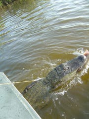 Alligators at Kennedy Space Center make quick meals