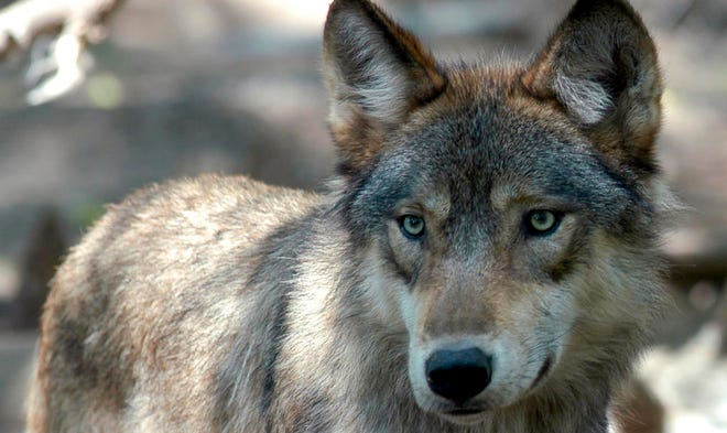 FILE - In this July 16, 2004, file photo, a gray wolf is seen at the Wildlife Science Center in Forest Lake, Minn.
