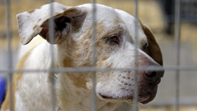 """A rescued dog peers from within a kennel where hundreds of rescued animals are being kept for treatment about an hour southwest of Raleigh, N.C., Friday, Jan. 29, 2016. The American Society for the Prevention of Cruelty to Animals rescued over 600 animals after they were found in conditions that the sheriff called """"awful and very sad."""" (AP Photo/Gerry Broome)"""