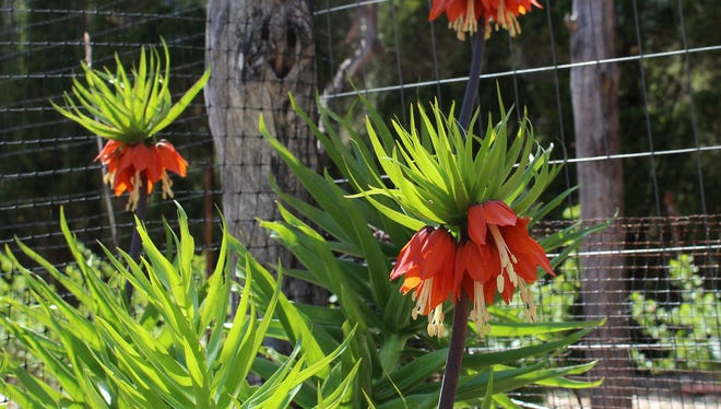 The crown imperial is a majestic spring bulb that deserves to be more widely known and grown. (AP Photo/Lee Reich)