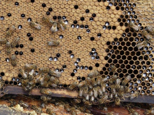 Bees cluster around field brood cells, on the left, where young bees develop in the pupae stage. Darker areas on the right are honey cells.