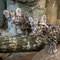 Two clouded leopard cubs made their public debut at the Houston Zoo Thursday.  Koshi and Senja had been under round-the-clock care in the zoo's veterinary clinic since their birth on June 6.  The brothers have spent the last week getting to know their new home under the watchful eyes of the zoo keepers. They love to climb the trees and wrestle with each other.