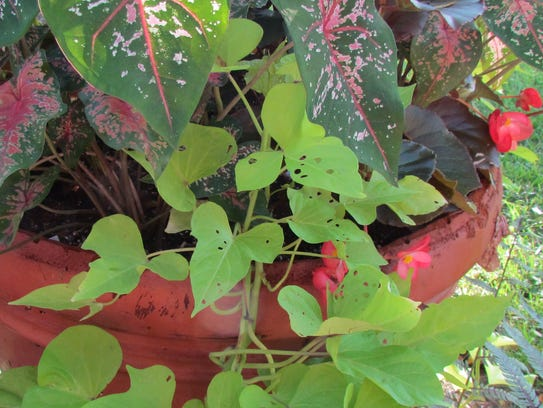 The leaves of sweet potato vines show damage from the