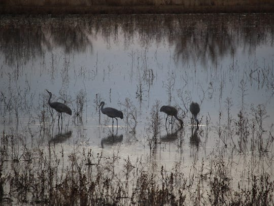 Sandhill cranes linger before sunset at Bosque del