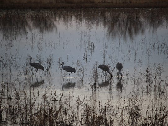 Sandhill cranes linger before sunset at Bosque del Apache National Wildlife Refuge.