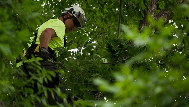 Fort Collins forestry technician Phil Lubke uses climbing gear and a handsaw to prune an ash tree on Monday, June 18, 2018, at City Park in Fort Collins, Colo.