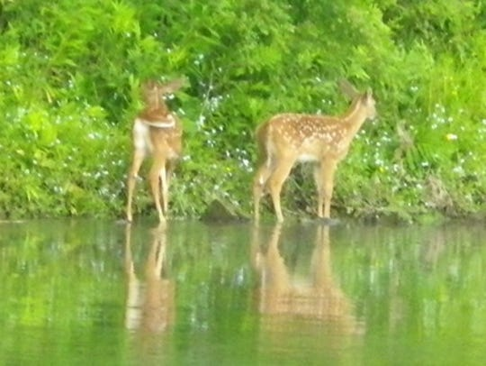 These twin fawns enjoy a summer's day along a river,