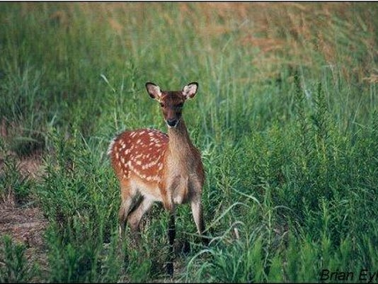 Sika_Deer_WXS101