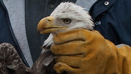 Injured eagle to be released Tuesday.