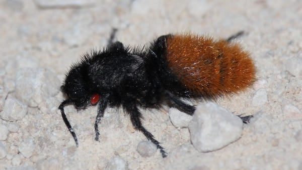 Despite being labeled as an ant, the velvet ant actually a variety of wasp, but only the females sting.