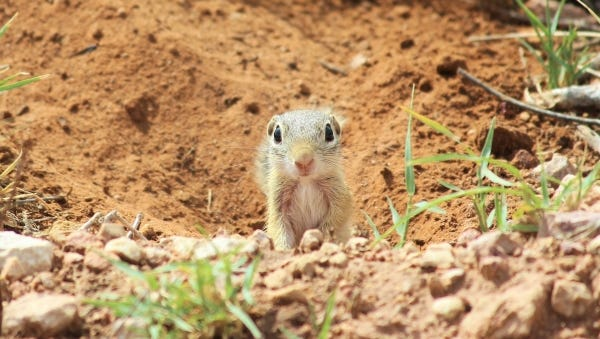 Ground squirrels are well versed at burrowing, and it is in these underground sanctuaries where they find refuge.