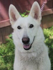 Tara is a white German Shepherd who was found as a stray. She's a spayed female, about 7 years old, who weighs 70 pounds. Tara is very active, with a lot of spunk, is very outgoing and playful, and likes toys. She's very patient with being brushed, but will need secure fence or to be an inside dog; 6-foot fences are no match for her. Tara likes other dogs and is patient enough to live with children, but due to her size she might knock little ones down. All cat and dog adoptions include spaying or neutering, rabies and other vaccinations, and a microchip for dogs. Visit Tehama County Animal Care Center at 1830 Walnut St., Red Bluff. Call 527-3439.