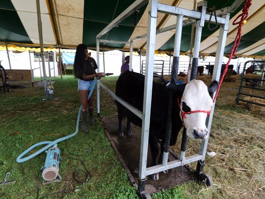 """Second day of Somerset County 4-H Fair held at North Brach Park in Bridgewater on Thursday August 11, 2016.Here Surya Piallai of Hillsborough blow dries her cow """"Widget"""" before the start of the dairy show during the 2nd day of the fair."""