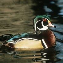 Good spring breeding counts and higher water levels have created the potential for good waterfowl hunting in Wisconsin.