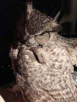 Good Samaritan trapped in car by owl after trying to rescue it