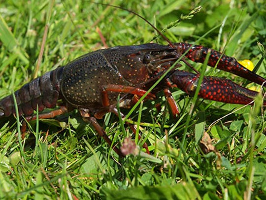Red swamp crayfish can walk two miles over land in
