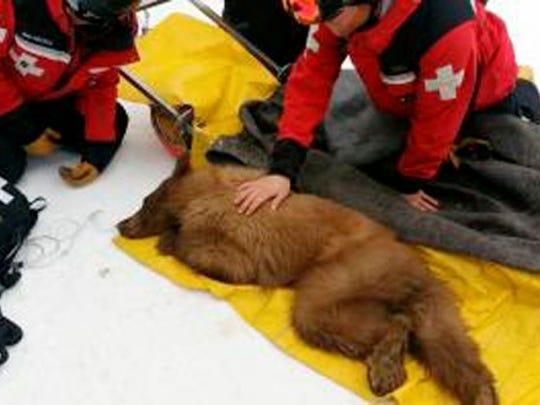 Heavenly the orphaned black bear was tranquilized and captured at the Heavenly Valley Ski Resort in March 2014.