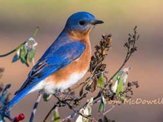 bluebird-tommcdhral_original