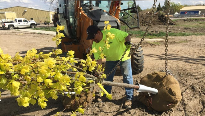 Luis Correa, a city service worker, moves bound for Main Street from Champions Park, which commemorates the Jack Dempsey-Tommy Gibbons boxing match Shelby hosted in 1923. City workers planted 40 trees in the park this week.
