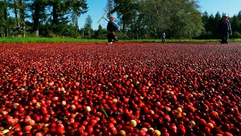 In this Oct. 11, 2016 photo, farmworkers walk through a cranberry bog on a farm in Ilwaco, Wash. This year's estimated crop of about 170,000 barrels (8,500 tons) of cranberries puts the apple-giant state fifth in the U.S. behind Wisconsin and Massachusetts, the two states that produce the bulk of the crop.