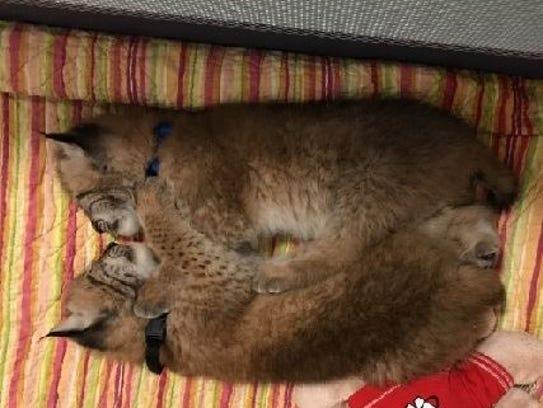Two lynx stolen from Delavan.