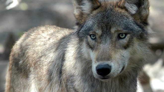 """The writer urges """"yes"""" votes on Proposals 1 and 2, which would support professional management of Michigan's wildlife and hunting seasons. The issue is controversial since the state permitted a hunting season for gray wolves, a once endangered species."""