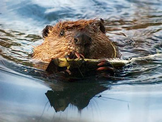 The beaver has made a dramatic comeback in population numbers over the past century.