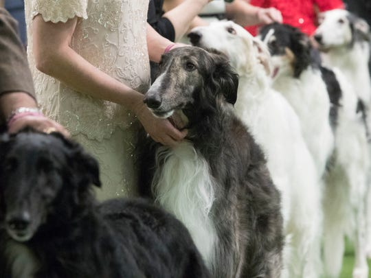 Borzois are seen in the ring during the 141st Westminster Kennel Club Dog Show, Monday, Feb. 13, 2017, in New York. (AP Photo/Mary Altaffer)