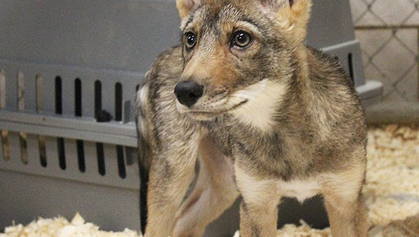 Magnus is the new coyote pup at the Binghamton Zoo at Ross Park.
