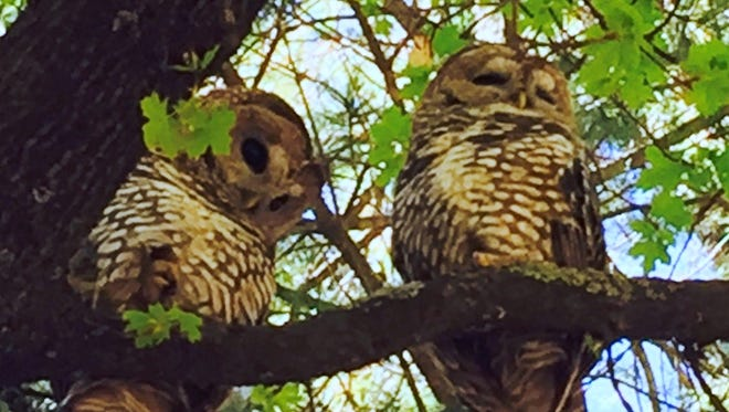 Two Mexican Spotted Owls are perched on a tree branch in the Lincoln National Forest.