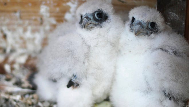 In this May 17 provided by Mary Malec are two peregrine falcon chicks in the Campanile bell tower on the UC Berkeley campus. University officials are asking for help naming three fluffy peregrine falcon chicks that hatched last month in the bell tower.