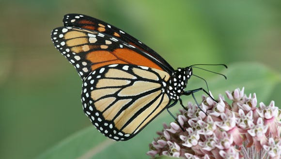 Farmers, landowners, conservationists, businesses, and citizen groups are making steady progress promoting the conservation of monarch butterflies and expanding habitat.