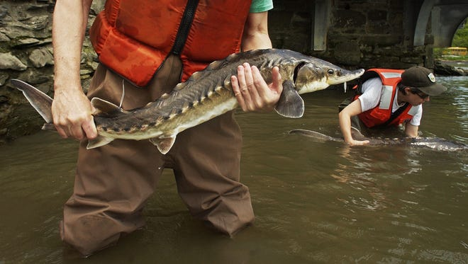 New data show that population numbers for juvenile sturgeon are rebounding.