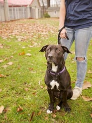 Misfit, a labrador-pit bull mix is a sweet pooch available