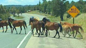 A driver on New Mexico Highway 48 heading into Ruidoso caught this shot of the herd before they were rounded up last year.