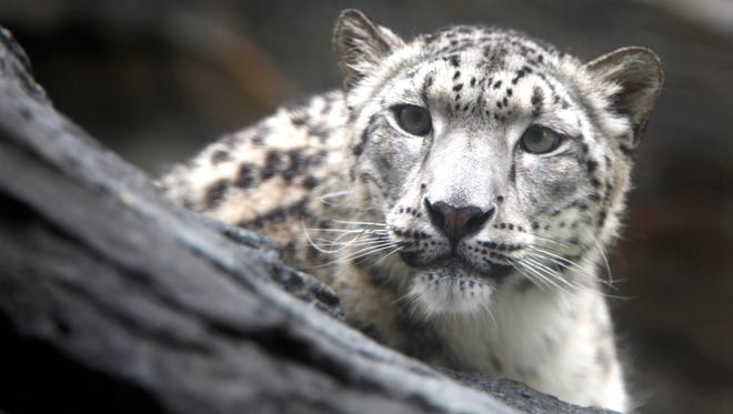 A snow leopard is seen at the Central Park Zoo in New York on June 11, 2009.