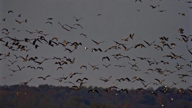 Canada Geese over the  Montezuma National Wildlife Refuge outside Seneca Falls..