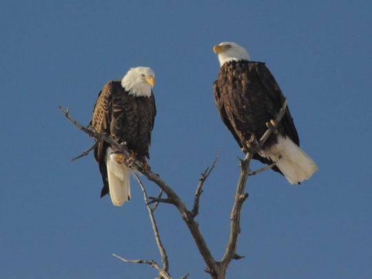 A pair of bald eagles hang out near County Road 32 east of the Poudre River.