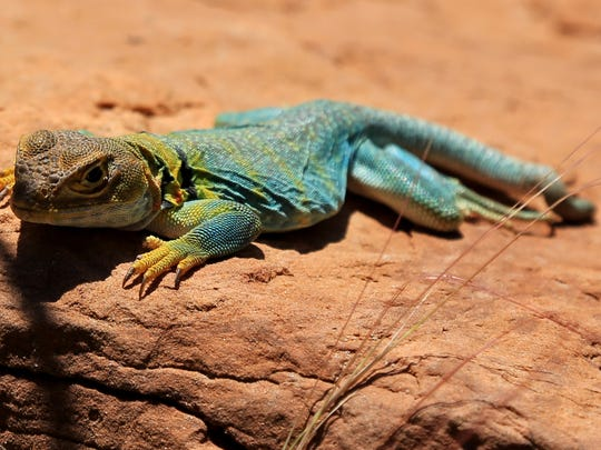 A lizard takes in some sun on the Upper Monument Canyon