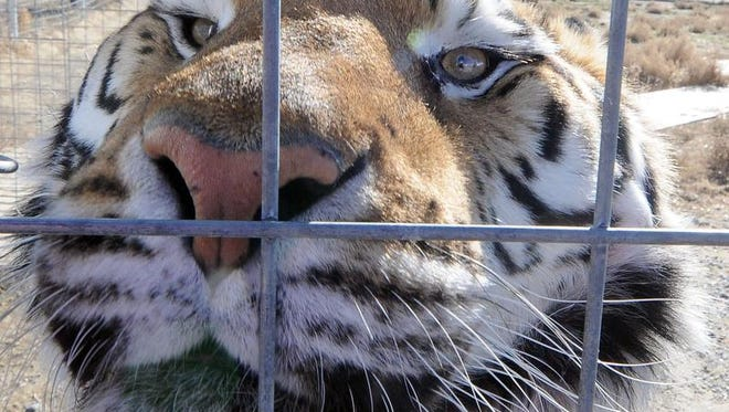 Choi Hu, a Siberian tiger, checks out those on the other side of the fence. She is almost 17 years old and has been at Safe Haven since 2009. She weighs between 300 and 350 pounds and eats about six pounds of chicken and beef a day.