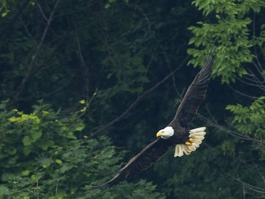 A bald eagle at Eagle Creek Reservoir in Indianapolis,