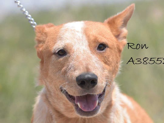 Ron - Male (neutered) heeler mix, about 2 years old. Intake date: 5-13-2018