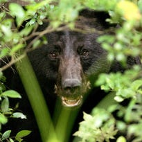A black bear peers out of some brush.