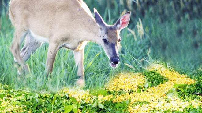 Baiting deer is illegal, even though you can buy deer corn at sporting goods stores.