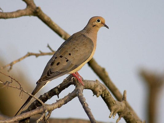 Mourning Dove Female Adult