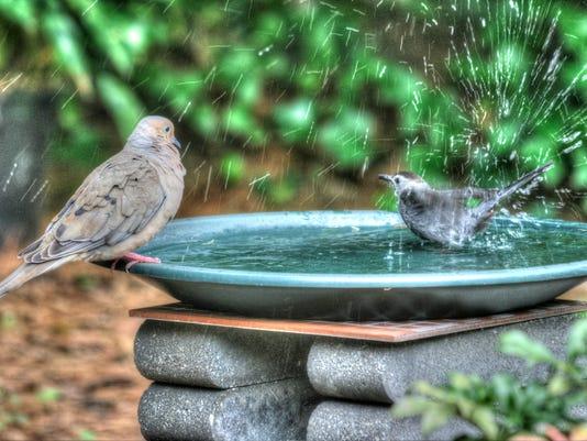 Birds Sharing a Bath