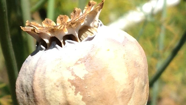 This bread seed poppy capsule is ready to harvest for seed because the valves are open near the top of the pod.