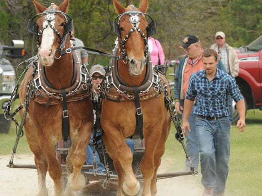 A two-horse team hauls its load during the Frontier Farmers Horse Pull, part of the annual Maifest celebration in Jacksonport.
