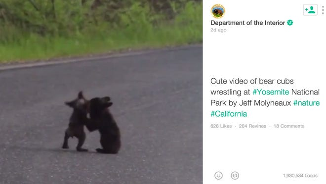 The U.S. Department of the Interior uploaded an adorable video of two bear cubs playing at Yosemite National Park in California.